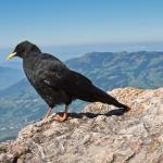Alpine Chough on the Mythen Summit