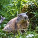 Marmot SNP