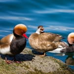 Red Crested Pochards