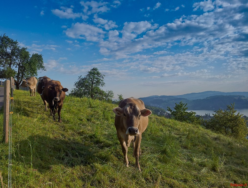 Cows Grazing Above Hergiswil, Canton Nidwald