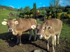 Young Cows in Hergiswil