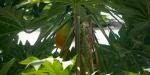 Tropical Fruit Flourishes in Frutigen