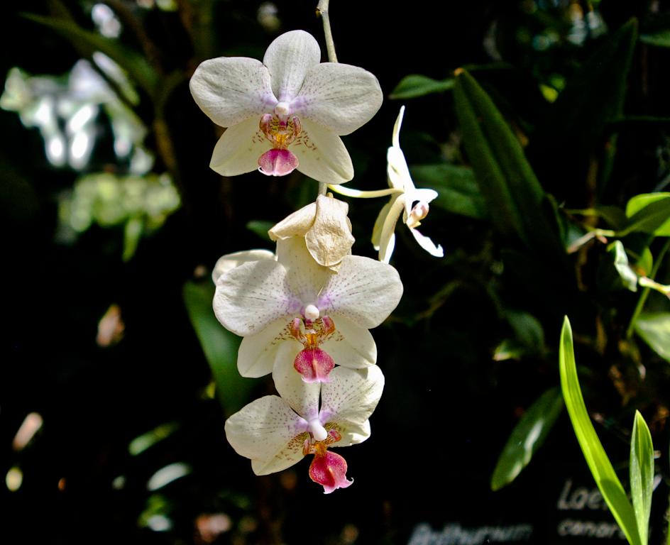 Tropenhaus Orchid