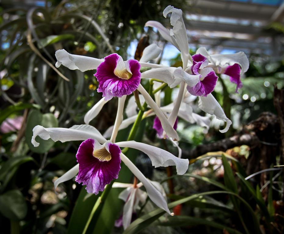 Wild Frutigen Orchid