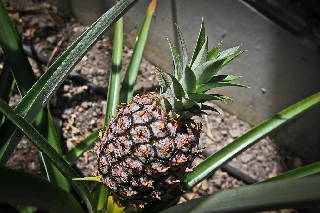 Swiss Pineapple in Frutigen Tropenhaus