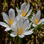 Alpine White Crocus