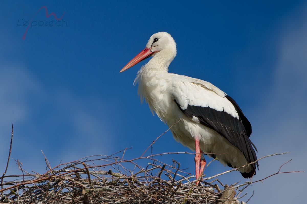 Stork Ennetbuergen-20160413-3-HR
