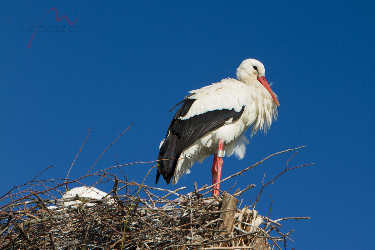 White Stork Ennetbuergen Switzerland