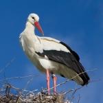 White Stork Ennetbuergen Switzerland