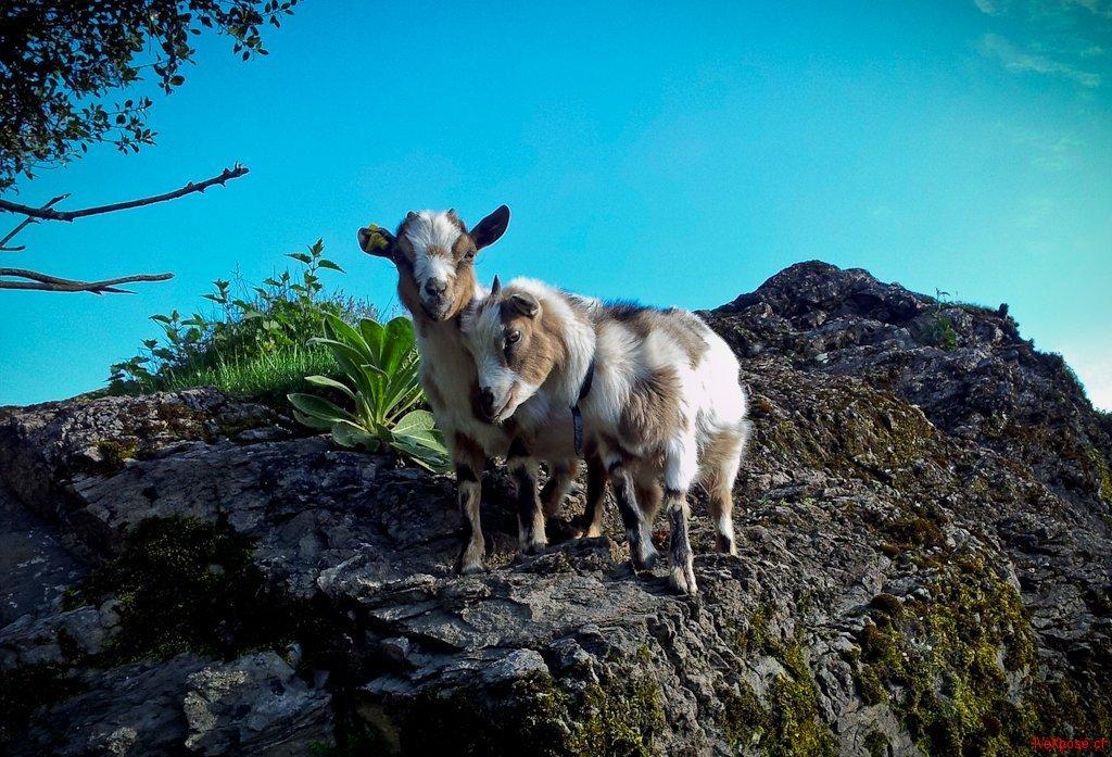 Goats Cuddle on a Rock
