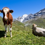 Cow Greetings