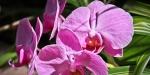 Gorgeous Fushia Colored Orchid in Frutigen