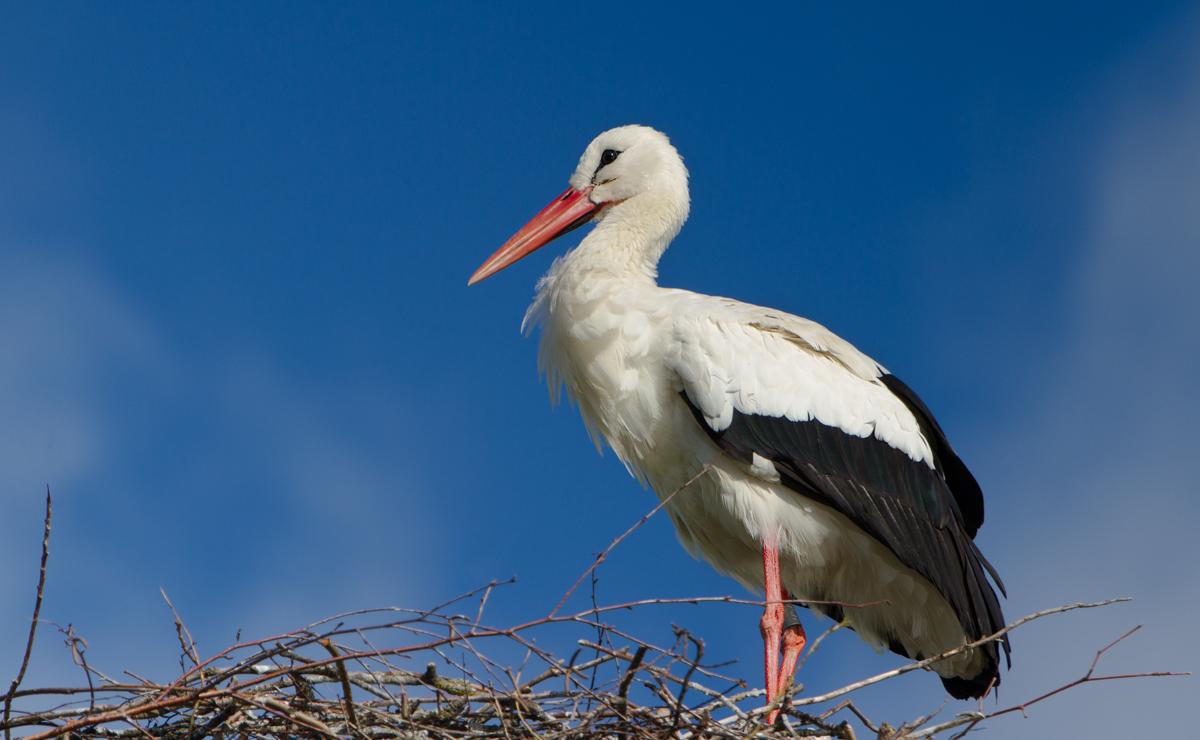 Nesting Stork in Ennetbuergen Spring 2016